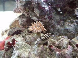 Anemonia manjano thumbnail
