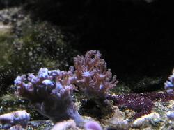 Anthelia sp. 01 thumbnail