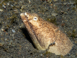 Aalförmiger schleimfisch
