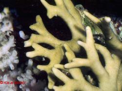 Millepora dichotoma thumbnail