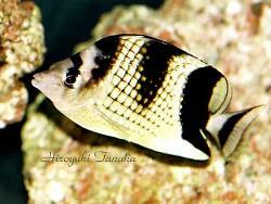 Chaetodon argentatus thumbnail