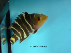 Cheilinus fasciatus thumbnail