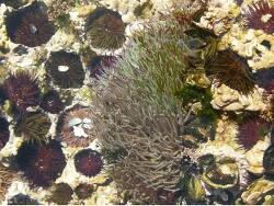 Anemonia sulcata thumbnail