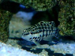 Serranus tigrinus thumbnail