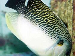Apolemichthys kingi thumbnail