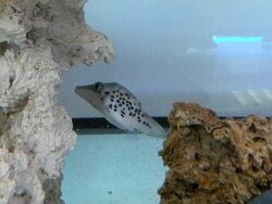 Canthigaster leoparda thumbnail