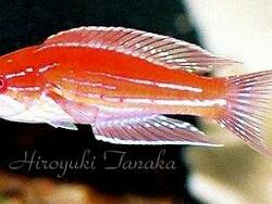 Paracheilinus angulatus thumbnail