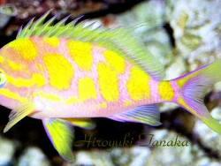 Odontanthias borbonius thumbnail