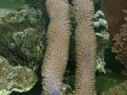 Pseudoplexaura porosa thumbnail