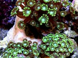 Alveopora tizardi thumbnail